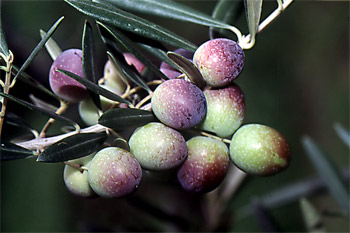 Its best exponent is the production of Table Olives